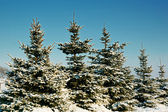 Winter spruce under snow — Stock Photo