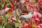 Ivy güvercin — Stok fotoğraf