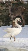 Beauty white swan — Stock Photo