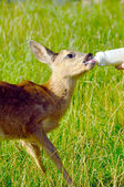 Young cute deer drinks milk — Stock Photo