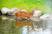 A fawn in the river near the waterfall — Foto Stock