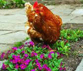Cock at the garden — Stock Photo