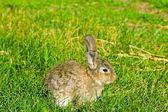 Szary królik na zielonej trawie — Zdjęcie stockowe