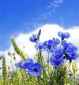 Summer field from blue cornflower — Stock Photo