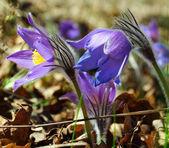 Niebieski pasqueflower — Zdjęcie stockowe