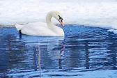 Um cisne nadando — Foto Stock