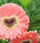 Pink gerberas heart in green background — Stock Photo