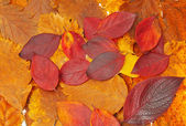 Red and yellow and brown leaves — Stock Photo