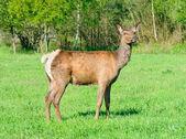 Red deer looking at camera — Stock Photo