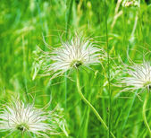 Three white dandelions in green background — Stockfoto