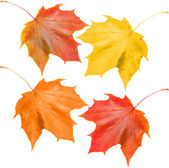 Set of fall leaves — Stock Photo