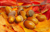 Acorns on fall leafs — Stock Photo