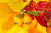Two apples on red and yellow leafs — Stock Photo