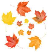 Maple vallen bladeren — Stok fotoğraf