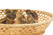 Little chickens of quail in basket — Stock Photo