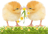 Yellow chickens with flowers — Stock Photo
