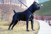 Pédigrée de belle cane corso — Photo