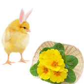 Bizarre chicken and basket with primrose — Stockfoto