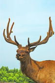 Deer buck in wood — Stock Photo