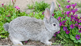 Fluffy grey rabbit and blue primroses — Stock Photo