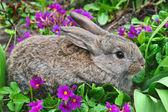 Fluffy grey rabbit and primroses — Stok fotoğraf