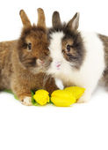 Funny pair of rabbits with tulips — Stock Photo