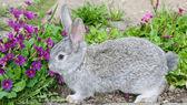 Conejo gris y azules primaveras — Foto de Stock
