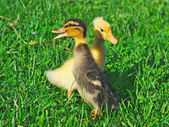 Little ducks on green grass — Stock Photo