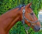 Retrato de caballo rojo — Foto de Stock