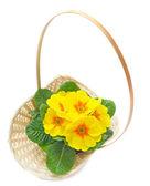 Primrose yellow flowers in basket — Stock Photo