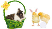 Rabbit in green basket and pretty chickens — Stok fotoğraf