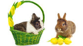 Rabbit in green basket and rabbit with yellow tulips — Stock Photo