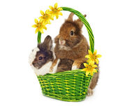 Rabbits in basket with yellow lilys — Stock Photo