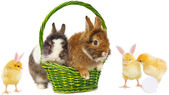 Rabbits in green basket and pretty chickens — Stok fotoğraf