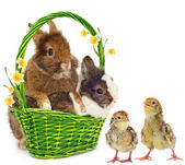 Rabbits with yellow flowers and chickens — Stock Photo