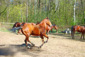 Running horse in paddock — Stock Photo