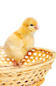 Small chicken in basket — Stock Photo