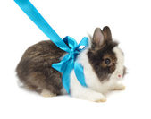 Spoted rabbit with blue bow — Stock Photo