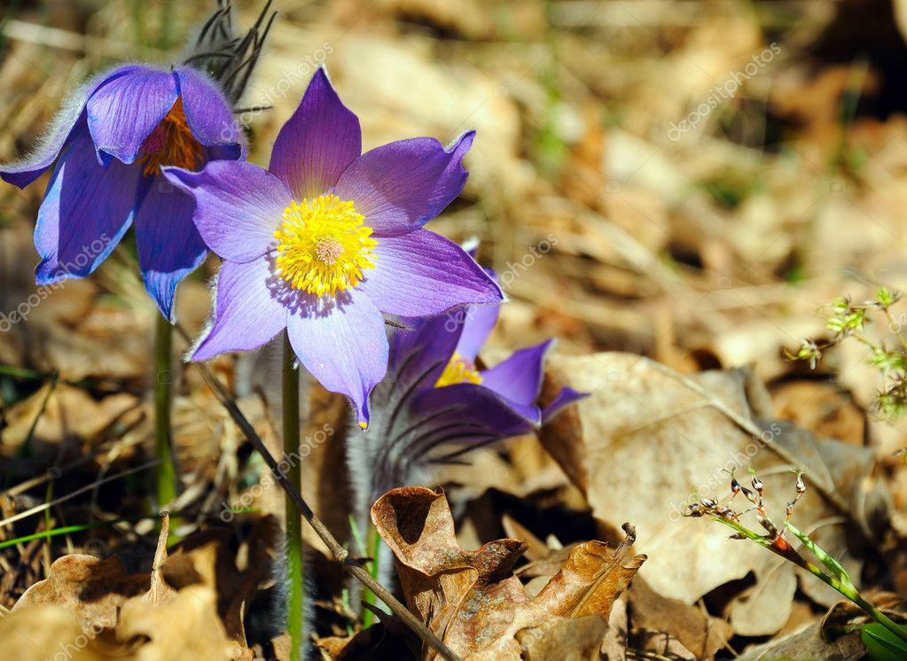 Синие лесные цветы