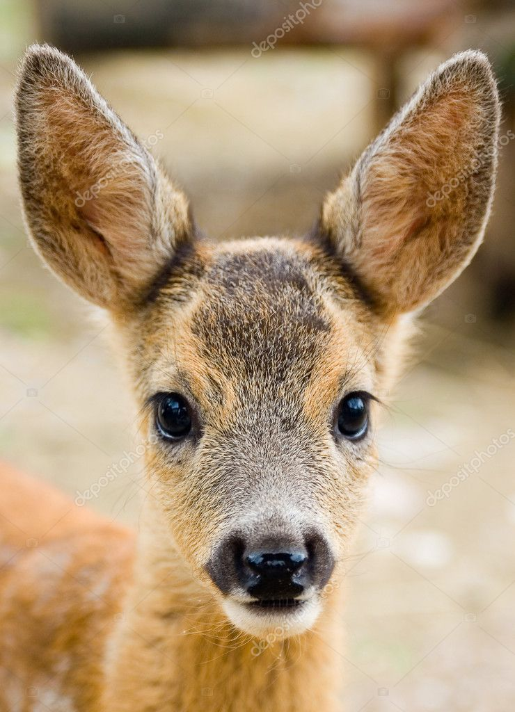 Portrait of a young dappled deer — Stock Photo #8915626