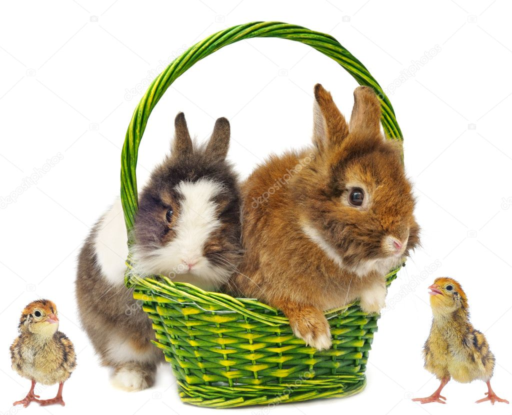 Rabbits in green basket and chickens on white background  Stock Photo #8916847