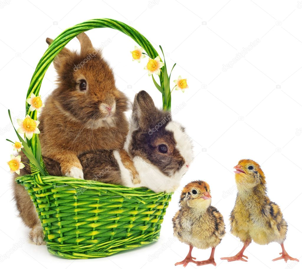 Rabbits with yellow flowers and chickens on white background — Stock Photo #8916861