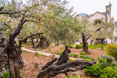 Jerusalem-Garden of Gethsemane — Stock Photo