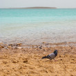 Pigeon on the bank of the Dead Sea - Stock Photo
