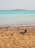 Gołąb na brzegu Morza Martwego — Zdjęcie stockowe
