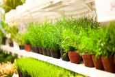 Shelf of green grass in pots at plants store — Stock Photo