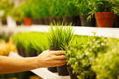 Closeup on hands taking pots of green grass from store shelf — Stock Photo