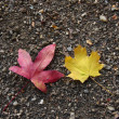 Two autumnal leaves — Stock Photo #8972811