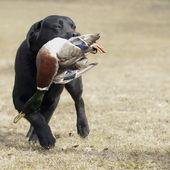 Labrador hunter — Stock Photo