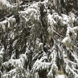 Stock Photo: Snowy evergreen tree.
